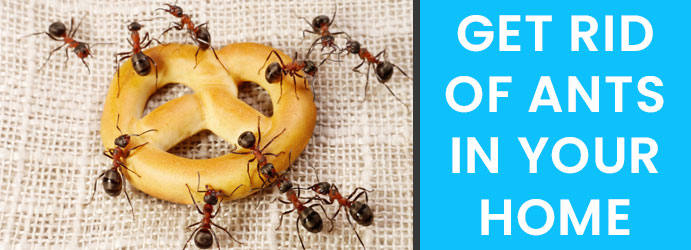 Get Rid of Ants in your Home