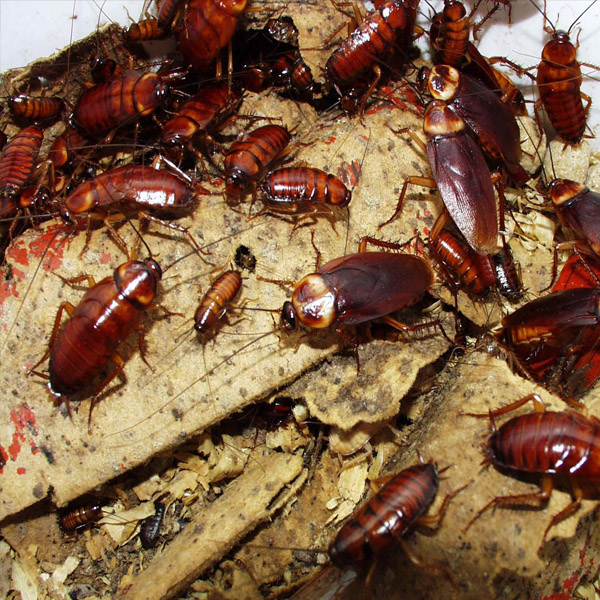 Cockroaches Pest Control