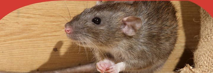 4 Main Sources of Rodent Infestation at your Homes