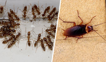 Ants and Cockroaches Control