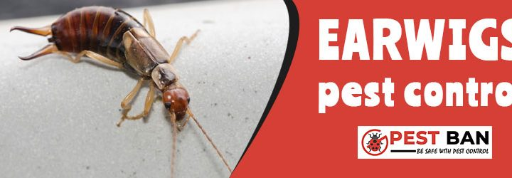 What are Earwigs?